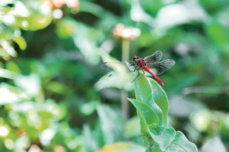 crocothemis: Scarlet Dragonfly