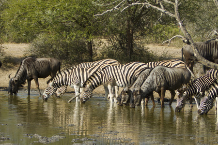 Zebras at the drinking place Stock Photo