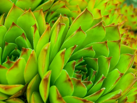 Hen and chicks cactus photo