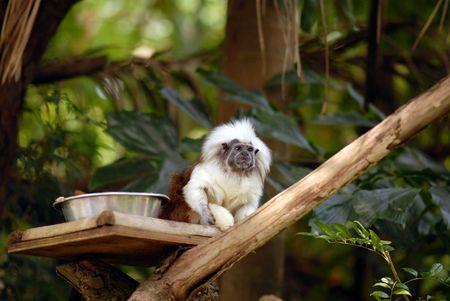 Cotton Top Tamarin on Tree Branch photo