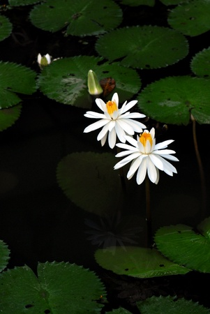 Two white water lilies in a pond photo