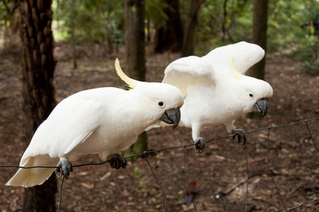 cockatoos: Two white cockatoos on fence