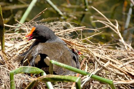 moorhen: A dusky moorhen in her nest Stock Photo
