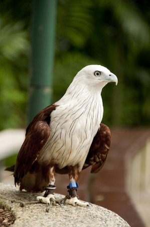 potrait: Potrait of red-backed Sea eagle (Brahminy Kite) Stock Photo