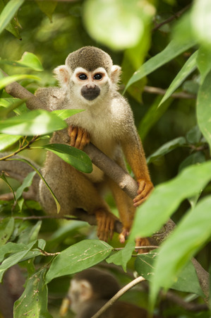 omnivores: A squirrel monkey is  in the tree Stock Photo