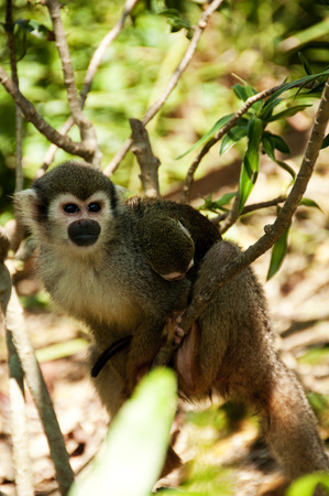 omnivores: A mother squirrel monkey carries a baby monkey at her back
