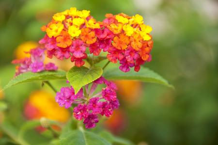 lantana camara: Macro of pink and yellow lantana camara flower