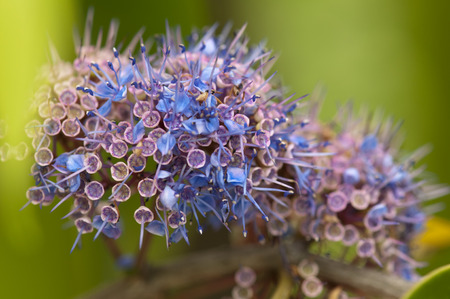 ironwood: Macro of ironwood tree flowers (Memecylon edule) Stock Photo