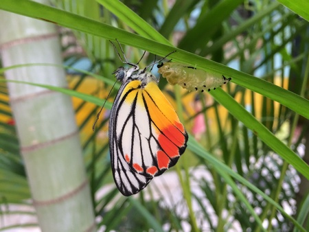 pupa: A Painted Jezebel, butterfly just emerge from pupa