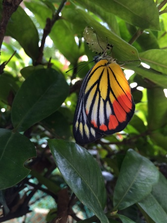 emerge: A Painted Jezebel, butterfly just emerge from pupa