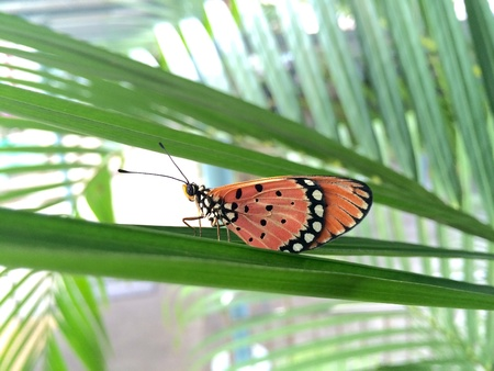 tawny: A tawny Coster butterfly is resting on a leaf
