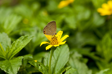 cycad: Closeup of a Small brown butterfly with black spots cycad blue on yellow flower Stock Photo