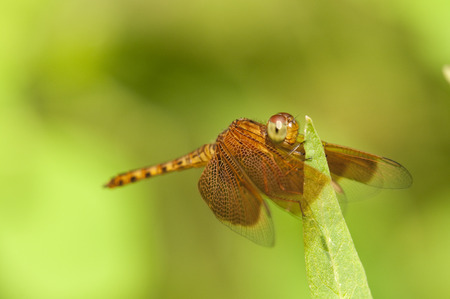 odonata: Brown dragonfly is resting on a leaf in the garden