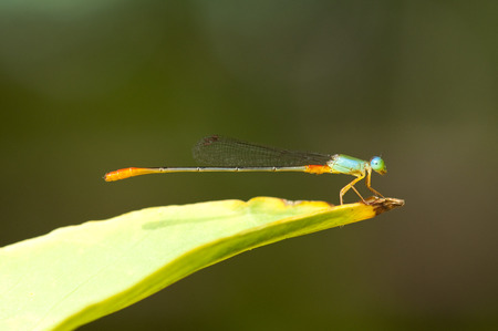 damselfly: Close up view of a Ornate Coraltail damselfly Stock Photo