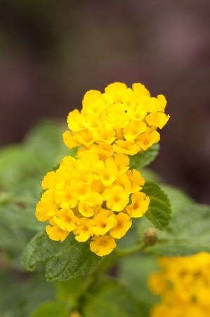 lantana camara: Close up of two Yellow Lantana Camara flowers