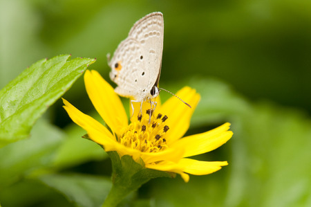 cycad: Close up of cycad blue butterfly feeding on yellow flower Stock Photo