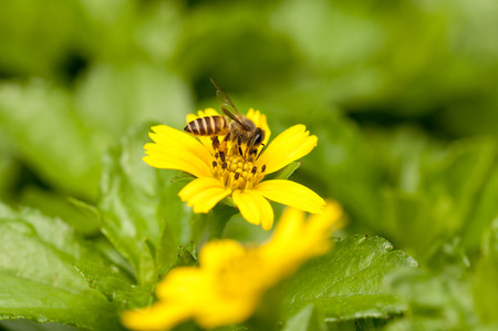 nectar: Bee is collecting nectar on a yellow flower