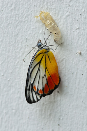 pupa: Painted Jezebel butterfly emerged from its pupa on the wall