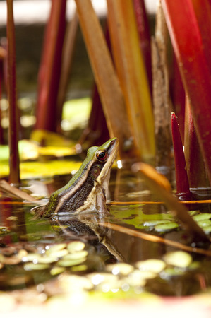 greenback: Common greenback frog is looking from water Stock Photo
