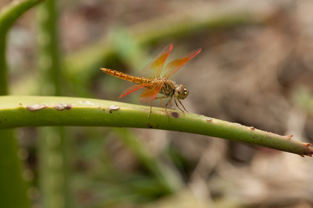 odonata: Male Common amberwing dragonfly is resting on a twig Stock Photo