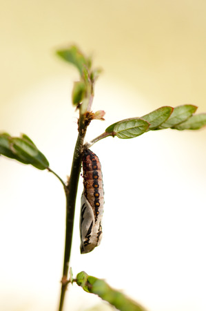 tawny: Tawny costers chrysalis hanged on a small plant