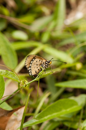 tawny: Tawny Coster butterfly is on a plant