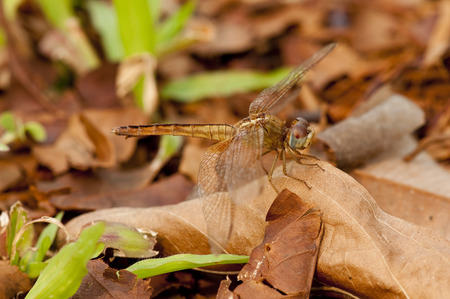 dropwing: Close up of a female crimson dropwing dragonfly rest on dry leaf