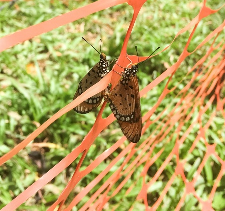 tawny: Two mating tawny coster butterfly Stock Photo