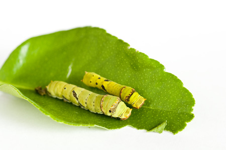 papilio demoleus: Close up of two lime butterfly (Papilio demoleus malayanus) caterpillars on a lime leaf