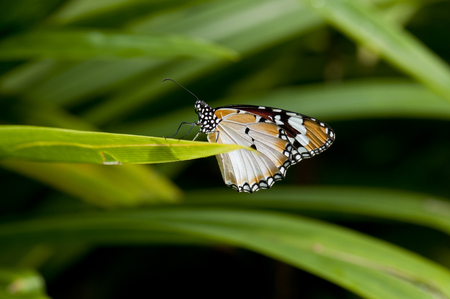 danaus: Female Plain tiger butterfly (Danaus chrysippus, form alcippoides) is resting on leaf