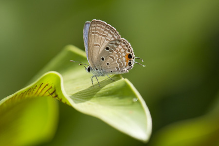 cycad: Cycad blue (Chilades pandava) butterfly on a leaf Stock Photo