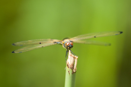 Close up of a yellow dragonfly resting on a stem