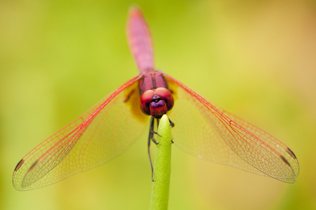 Close up of male Crimson Dropwing dragonfly resting with wings open Stock Photo