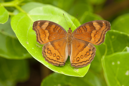 Upperside of a chocolate pansy (Junonia hedonia ida) butterfly, resting on a leaf