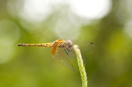 Close up of female Crimson Dropwing dragonfly resting with wings open