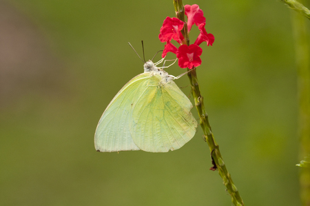 Male Lemon Emigrant (Form-alcmeone) butterfly is feeding on red snakeweed (Stachytarpheta indica)
