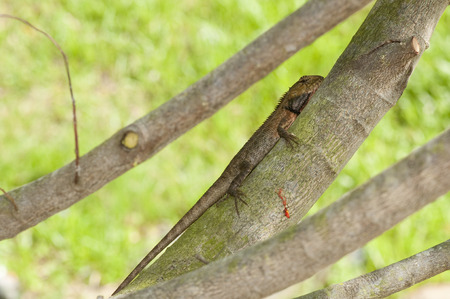 Changeable lizard (Calotes versicolor) on a tree branch in the shade 版權商用圖片
