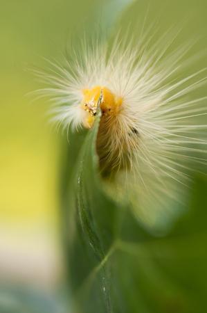 Yellow tussock moth caterpillar is feeding on a leaf Stock Photo