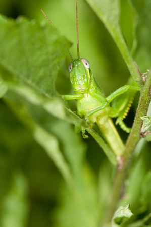 Closeup of green grasshopper hides and camouflaged in plants Banco de Imagens