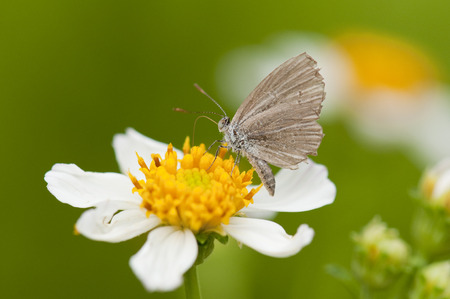 Closeup of a small brown butterfly is feeding nectar from Spanish Needle flower (Bidens alba)