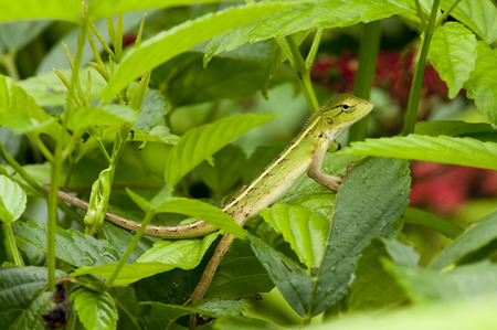 Changeable lizard (Calotes versicolor) camouflage in bushes