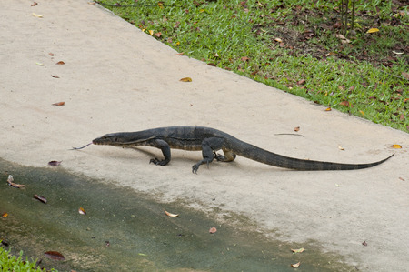 Malayan water monitor lizard (Varanus salvator) sticking out its tongue on the pathway in Singapore