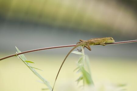 Close-up of changeable lizard (Calotes versicolor) on a stem