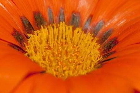 Detail of a beautiful orange gazania flower Banque d'images