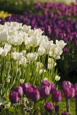 White and purple tulips in the gardens of the city Istanbul Turkey photo