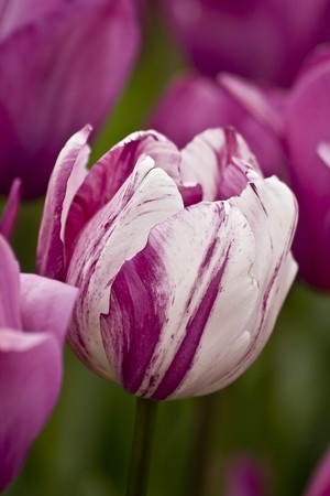 Pink and white tulips in the garden. Location:  Istanbul, Turkey photo