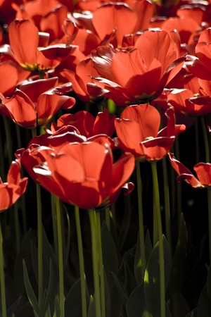 Red tulips in the garden. Location:  Istanbul, Turkey photo