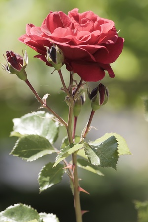 Red rose buds blooming on a natural background in a garden photo