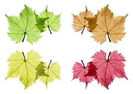 Assorted colored grape leaves in front of white background, isolated Imagens