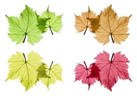 leaf grape: Uva color surtido deja de fondo blanco, aislado